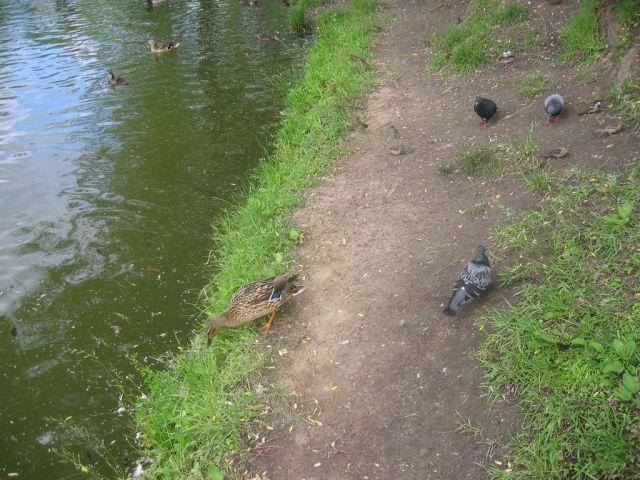 наглое животное увидело крошки хлеба на берегу и выбежало, ч