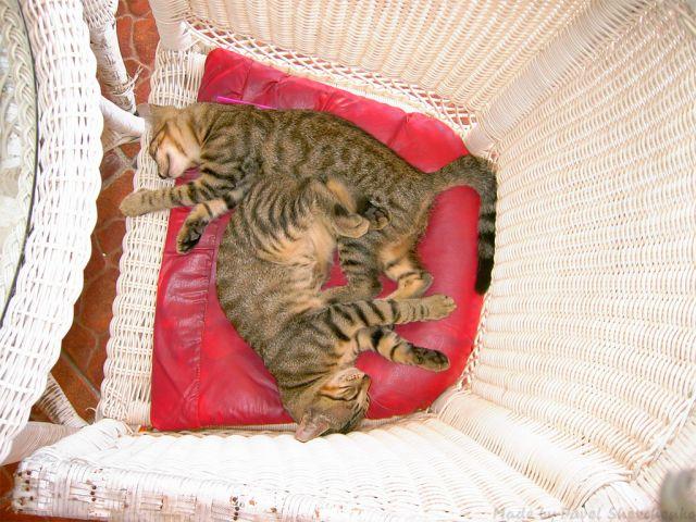 кошки драные